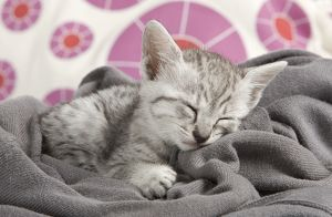 Cat - Egyptian Mau - Kitten - sleeping