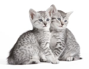 Cat - Egyptian Mau - Kittens