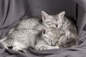 Cat - Egyptian Mau - Kittens - sleeping