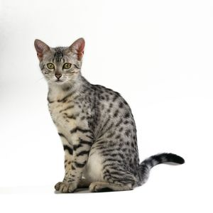 CAT - Egyptian Mau, sitting