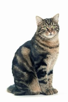 Cat - European Shorthair Brown Tabby