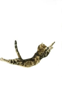 Cat - European Shorthair Brown Tabby - jumping in mid-air