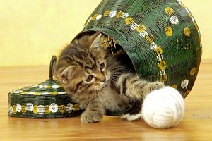 Cat - European Shorthair Brown Tabby - Kitten playing