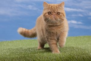 Cat - Exotic shorthair