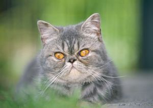 Cat - Exotic Shorthair / Blue Tabby Cat