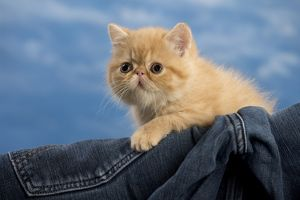 Cat - Exotic Shorthair in denim