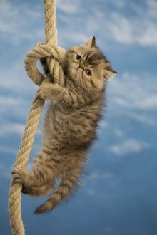 Cat - Exotic Shorthair hanging on rope