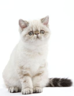 Cat - Exotic Shorthair kitten