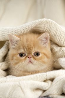 Cat - Exotic Shorthair wrapped in jumper