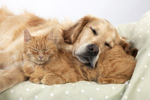 CAT - Ginger cat and Golden Retriever