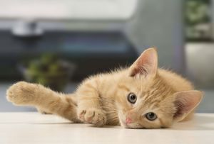 Cat - Ginger kitten