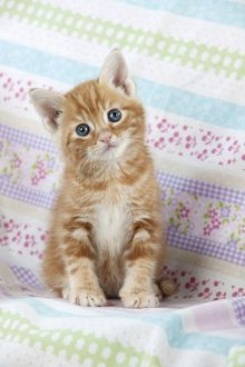 Cat - Ginger Tabby kitten
