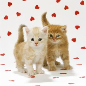 CAT - Two ginger tabby kittens on hearts background