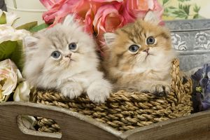 Cat - Golden shaded & blue shaded Persian kittens