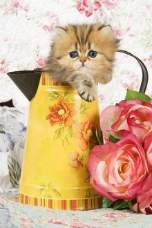 Cat - Golden shaded Persian kitten in water jug