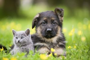 Cat - grey Chartreux kitten in garden with puppy