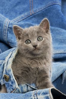 Cat - grey Chartreux kitten on jean material