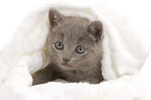 Cat - grey Chartreux kitten in studio under blanket