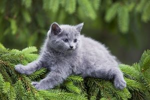 Cat - grey Chartreux kitten in tree
