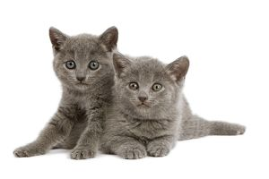 Cat - two grey Chartreux kittens in studio