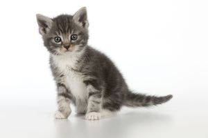 Cat - Grey Tabby kitten