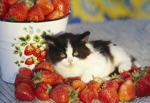 CAT - Kitten resting with strawberries
