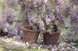 Cat - kittens in baskets by Wisteria