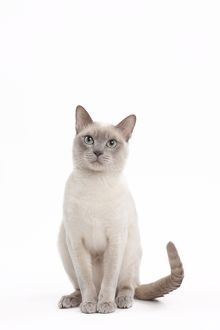 Cat - Lilac Mink Tonkinese