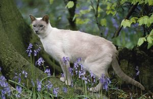CAT - Lilac point Siamese