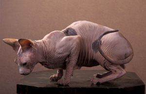 Cat - Naked cat - Sphinx cat