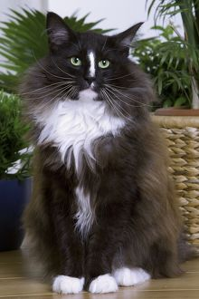 Cat - Norwegian Forest - black & white