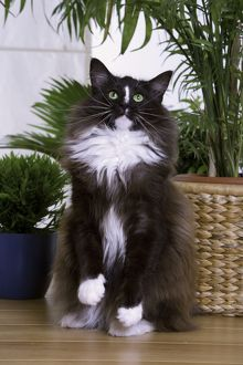 Cat - Norwegian Forest - black & white - begging