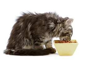 Cat - Norwegian forest kitten eating dried catfood from a bowl