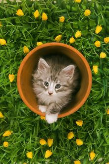 Cat - Norwegian forest kitten in flowerpot with flowers
