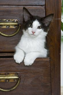 Cat - Norwegian Forest kitten peaking out from chest of drawers