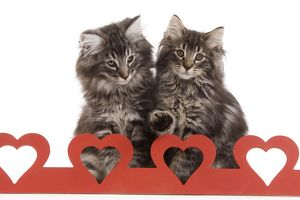 Cat - Norwegian forest kitten sitting behind cut out hearts
