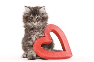 Cat - Norwegian forest kitten sitting beside red cut-out heart