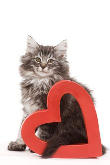 Cat - Norwegian forest kitten sitting with red cut-out heart