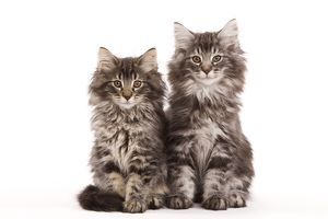 Cat - two Norwegian forest kittens