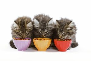 Cat - three Norwegian forest kittens eating dried catfood from coloured bowls