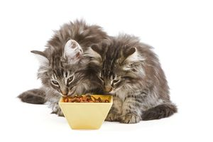 Cat - two Norwegian forest kittens eating dried catfood from bowls