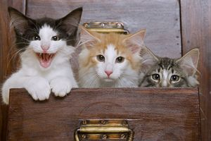 Cat - Norwegian Forest kittens peaking out from chest of drawers