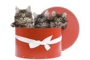 Cat - Norwegian forest kittens sitting inside red hat box