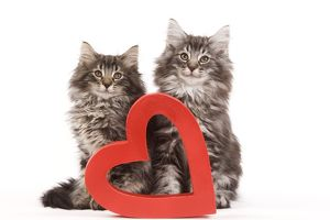 Cat - Norwegian forest kittens sitting beside red cut-out heart