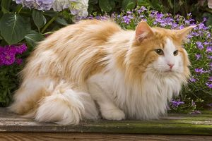 Cat - Norwegian forest lying by flowers