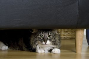 Cat - Norwegian Forest Silver Tabby - Mackerel & White - hiding under chair