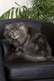 Cat - Norwegian Forest Silver Tabby - Mackerel & White - sitting on chair