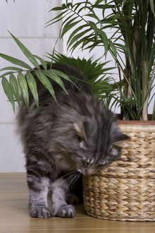 Cat - Norwegian Forest Silver Tabby Mackerel & White - brushing against pot plant