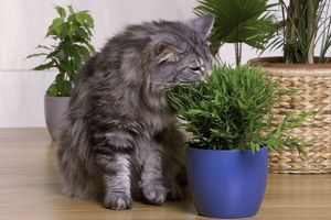 Cat - Norwegian Forest Silver Tabby Mackerel & White - eating houseplant
