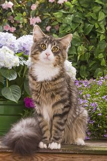 Cat - Norwegian forest sitting by flowers